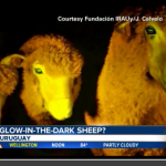 Meet Lucifer the Genetically Modified Glow in the Dark Sheep