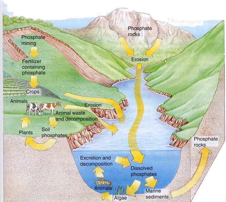 Phosphorus Cycle 2