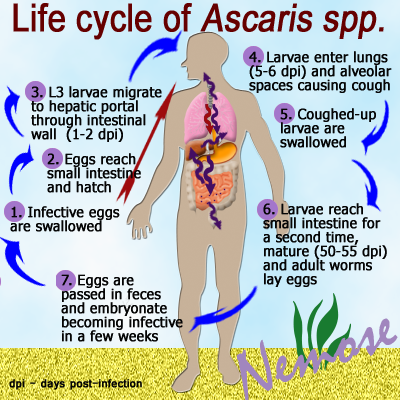 Worms ascaris-life-cycle