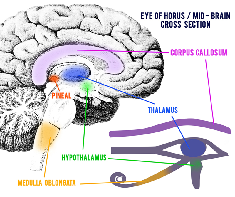 Eye-of-Horus brain