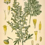 Wormwood as an Herbal Medicine and Parsasite Cleanse