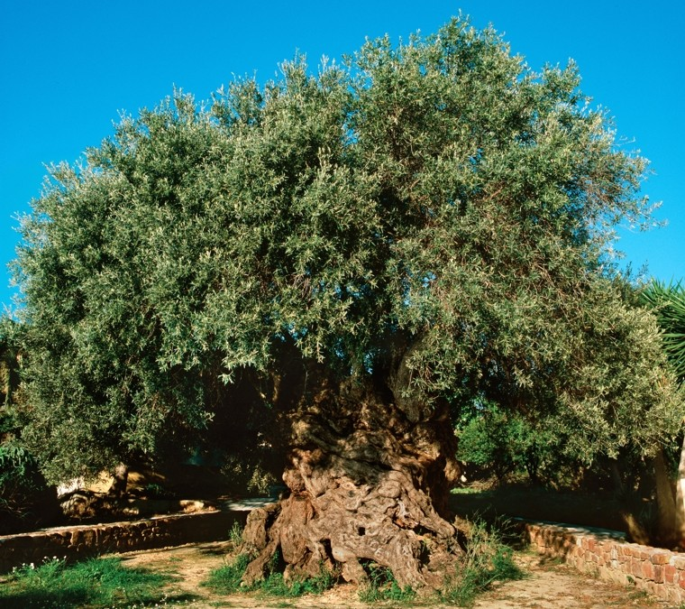 The Olive Tree of Abraham