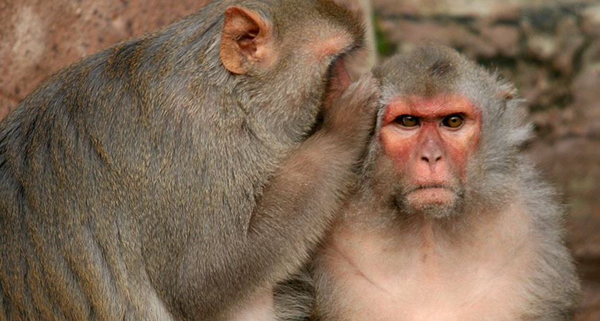 Scientists Create Super Intelligent Monkeys With Human DNA