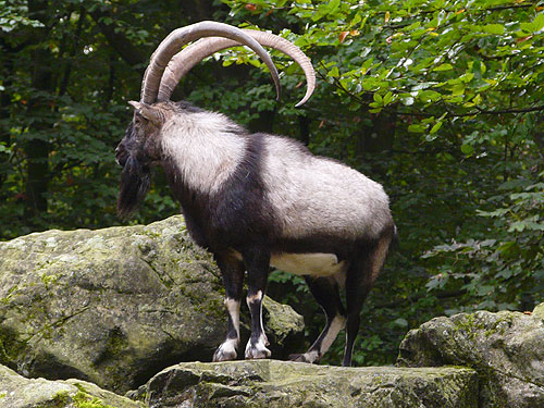 God's Goats: The Chief Bedan Goat